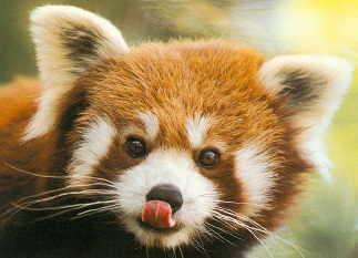 Red Panda - Firefox